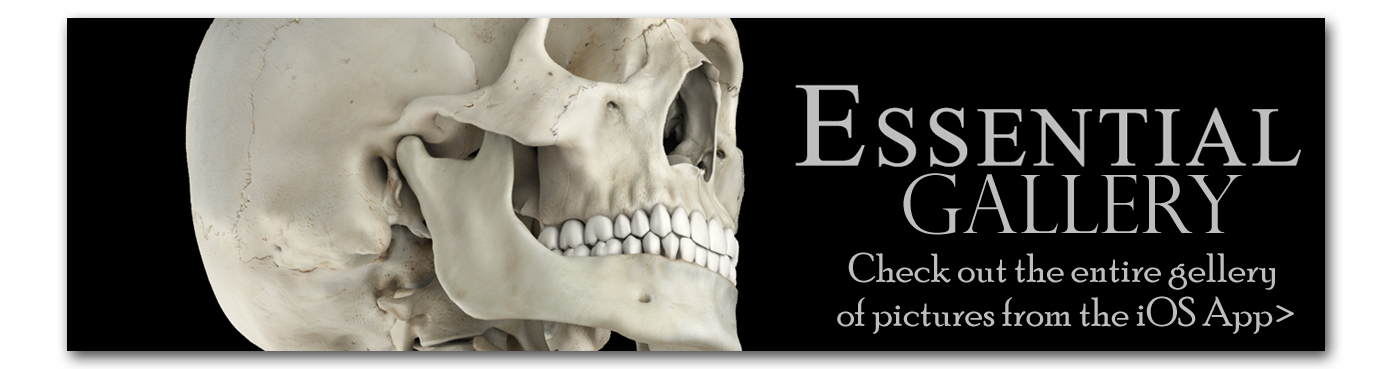 Gallery of Essential Skeleton Images